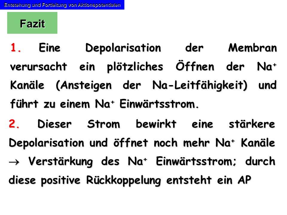 Entstehung und Fortleitung von Aktionspotentialen 1.Eine Depolarisation der Membran verursacht ein plötzliches Öffnen der Na + Kanäle (Ansteigen der N