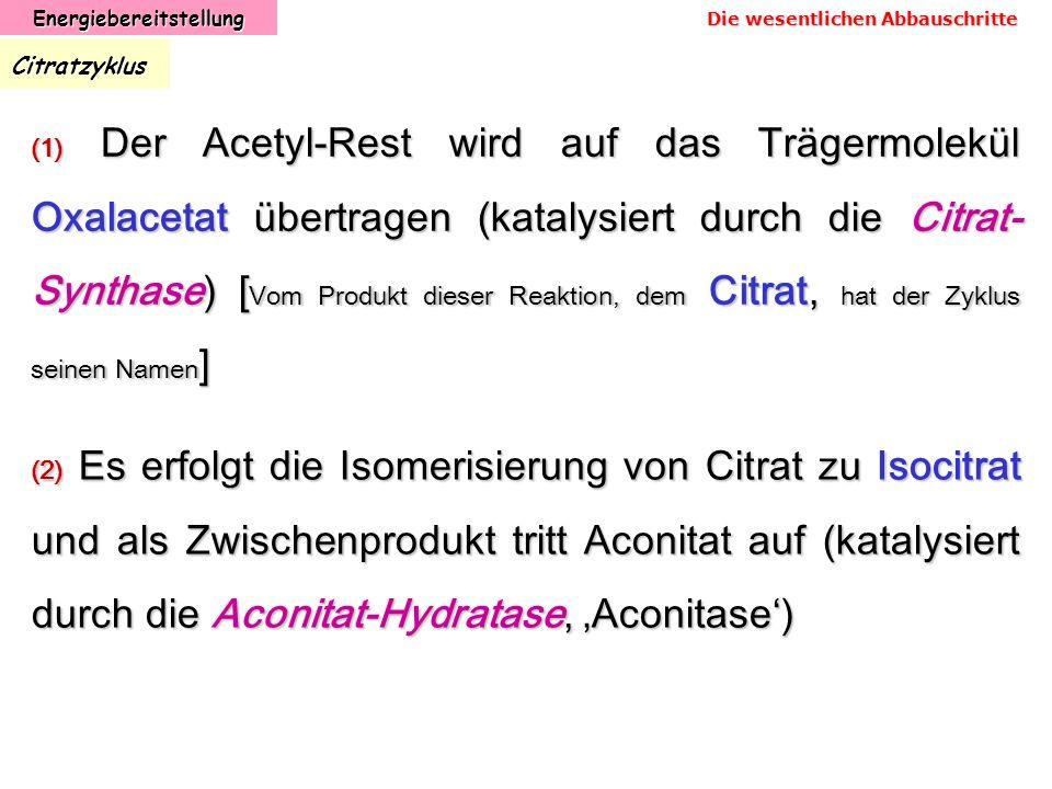 EnergiebereitstellungCitratzyklus (1) Der Acetyl-Rest wird auf das Trägermolekül Oxalacetat übertragen (katalysiert durch die Citrat- Synthase) [ Vom