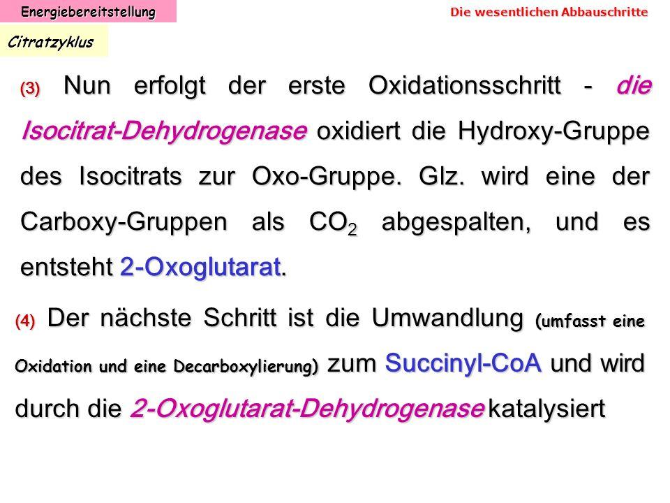 EnergiebereitstellungCitratzyklus (3) Nun erfolgt der erste Oxidationsschritt - die Isocitrat-Dehydrogenase oxidiert die Hydroxy-Gruppe des Isocitrats