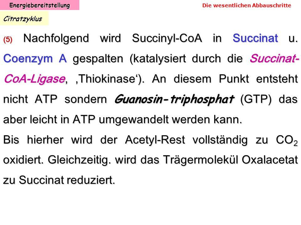 EnergiebereitstellungCitratzyklus (5) Nachfolgend wird Succinyl-CoA in Succinat u. Coenzym A gespalten (katalysiert durch die Succinat- CoA-Ligase,,Th