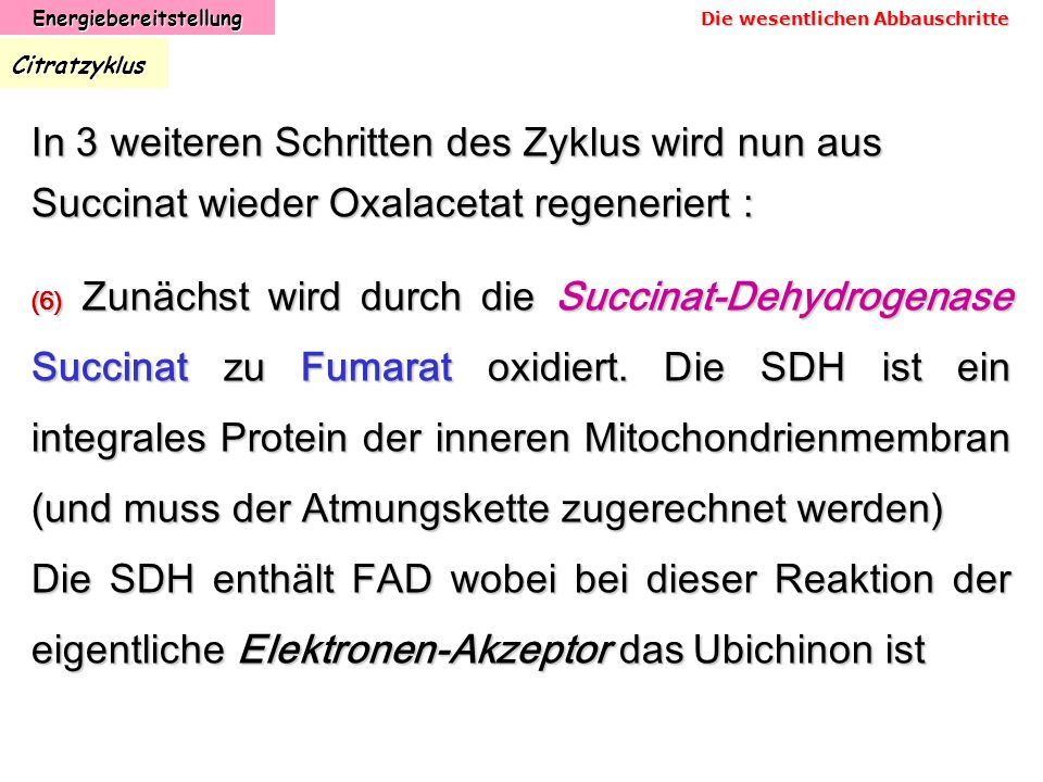 EnergiebereitstellungCitratzyklus (6) Zunächst wird durch die Succinat-Dehydrogenase Succinat zu Fumarat oxidiert. Die SDH ist ein integrales Protein