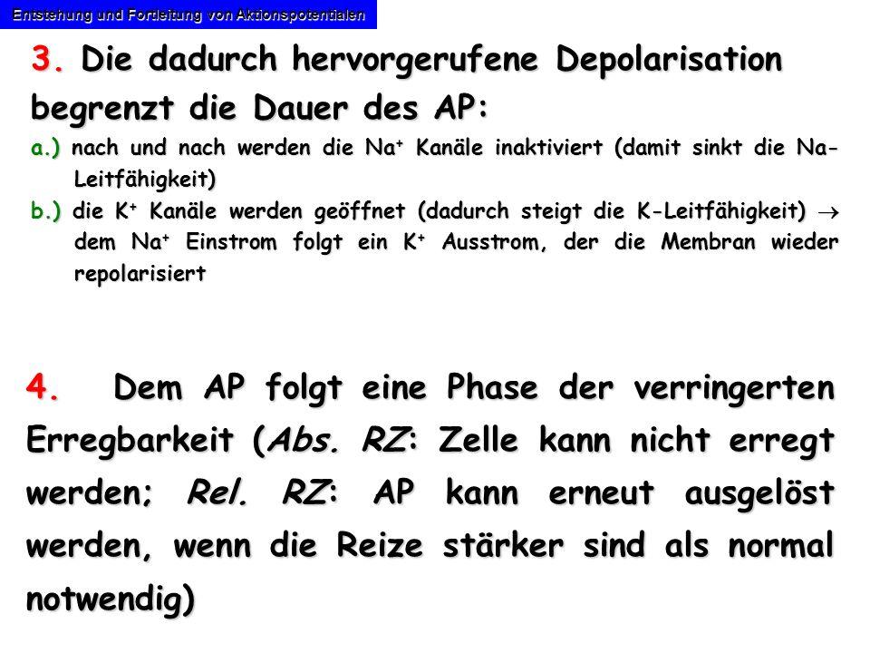 Entstehung und Fortleitung von Aktionspotentialen 3. Die dadurch hervorgerufene Depolarisation begrenzt die Dauer des AP: a.) nach und nach werden die
