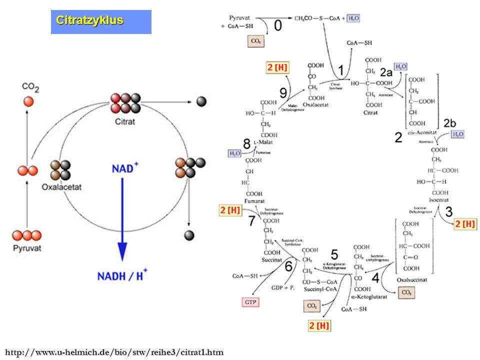 Citratzyklus http://www.u-helmich.de/bio/stw/reihe3/citrat1.htm