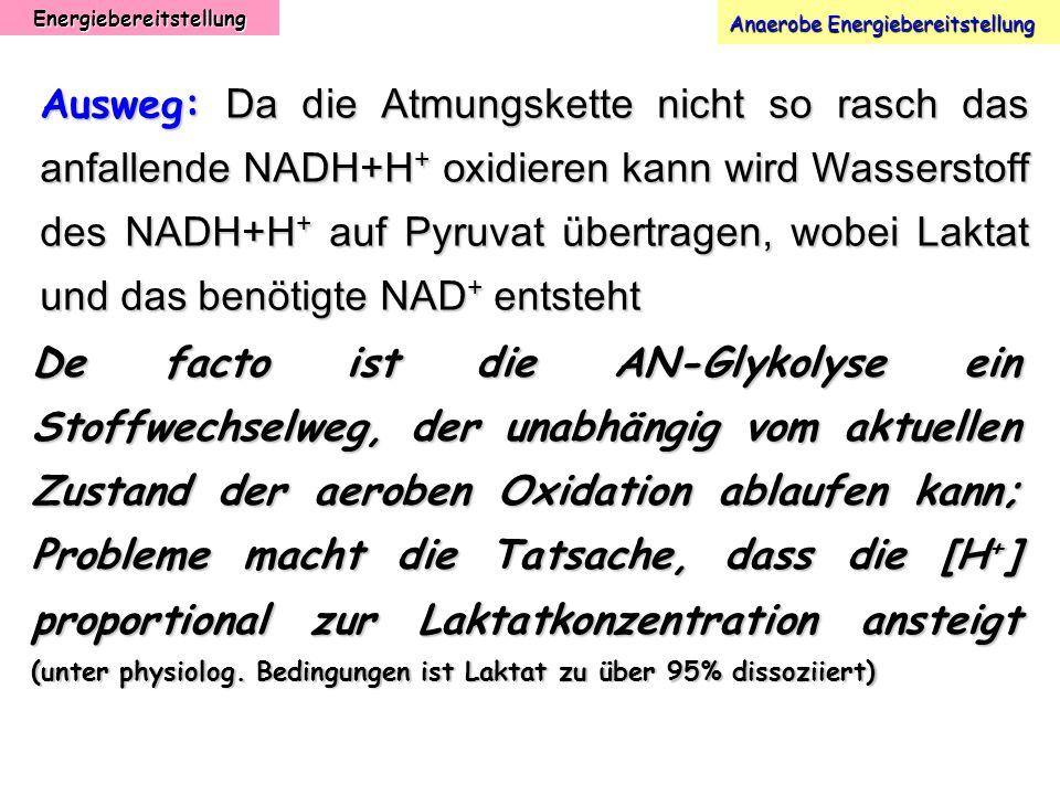 Energiebereitstellung Anaerobe Energiebereitstellung Ausweg: Da die Atmungskette nicht so rasch das anfallende NADH+H + oxidieren kann wird Wasserstof