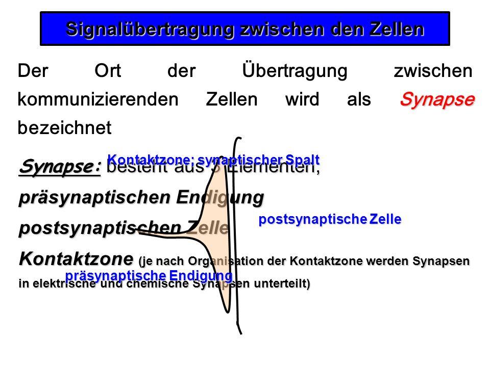 Signalübertragung zwischen den Zellen Synapse Der Ort der Übertragung zwischen kommunizierenden Zellen wird als Synapse bezeichnet Synapse: besteht au