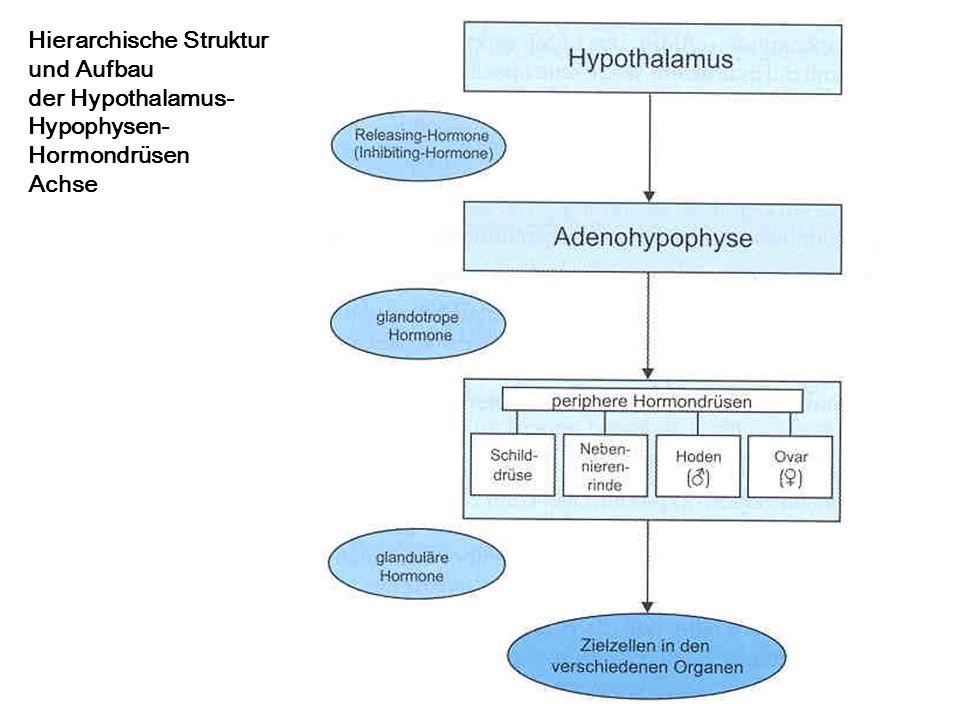 Hierarchische Struktur und Aufbau der Hypothalamus- Hypophysen- Hormondrüsen Achse