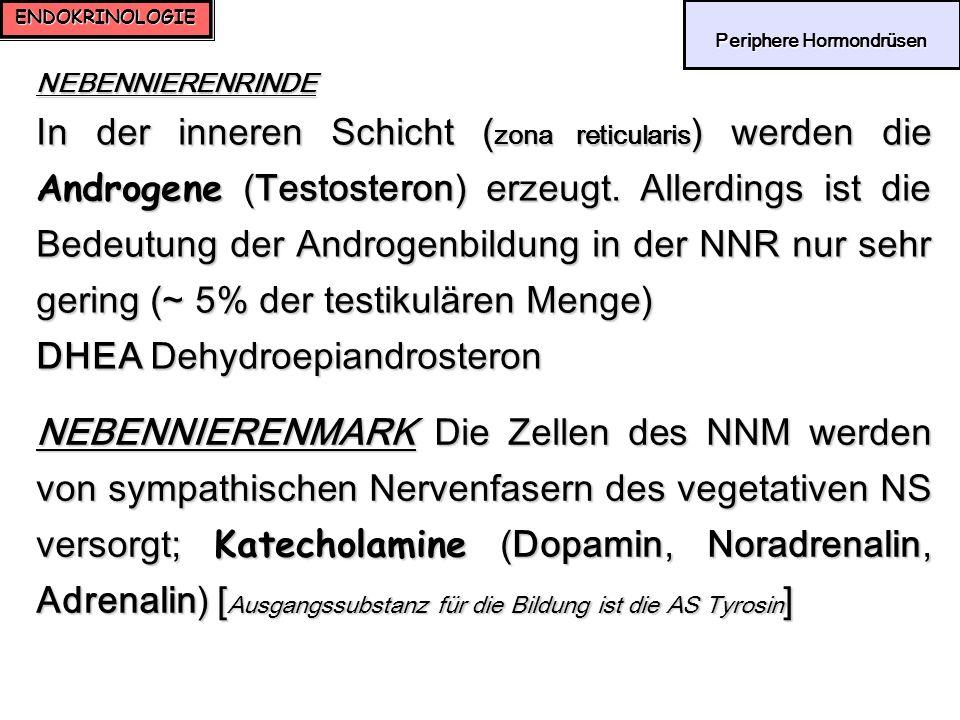 ENDOKRINOLOGIE Periphere Hormondrüsen Periphere Hormondrüsen NEBENNIERENRINDE In der inneren Schicht ( zona reticularis ) werden die Androgene (Testos