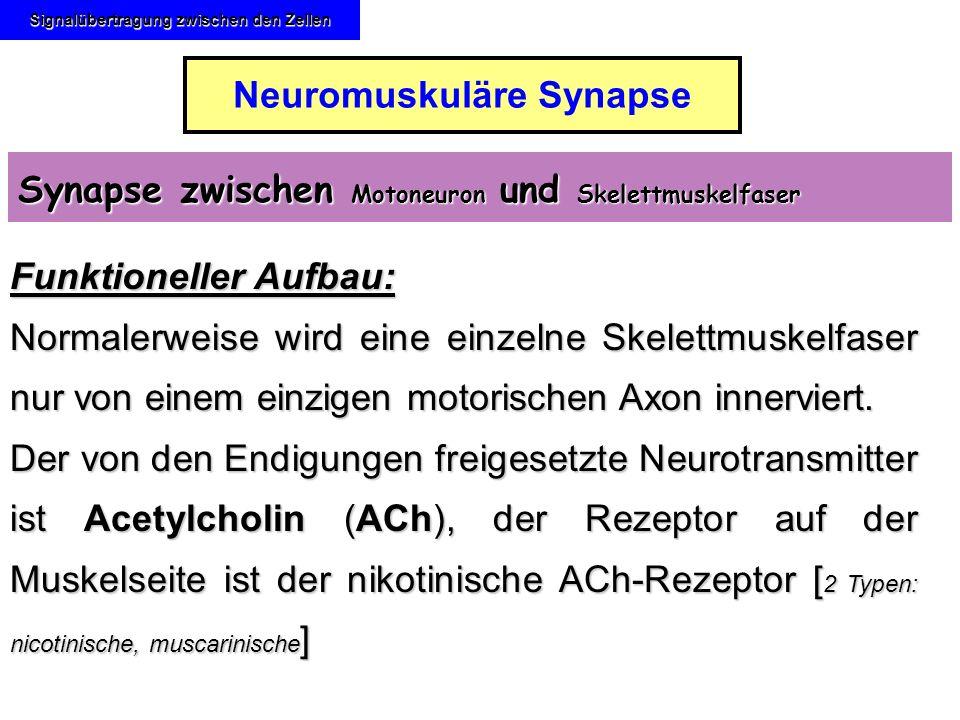 Signalübertragung zwischen den Zellen Neuromuskuläre Synapse Synapse zwischen Motoneuron und Skelettmuskelfaser Funktioneller Aufbau: Normalerweise wi