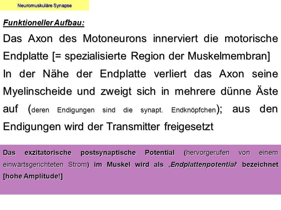 Neuromuskuläre Synapse Funktioneller Aufbau: Das Axon des Motoneurons innerviert die motorische Endplatte [= spezialisierte Region der Muskelmembran]