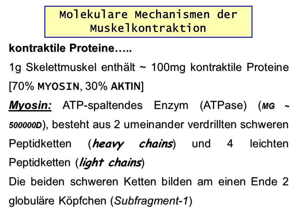 kontraktile Proteine….. 1g Skelettmuskel enthält ~ 100mg kontraktile Proteine [70% MYOSIN, 30% AKTIN ] Myosin: ATP-spaltendes Enzym (ATPase) ( MG ~ 50