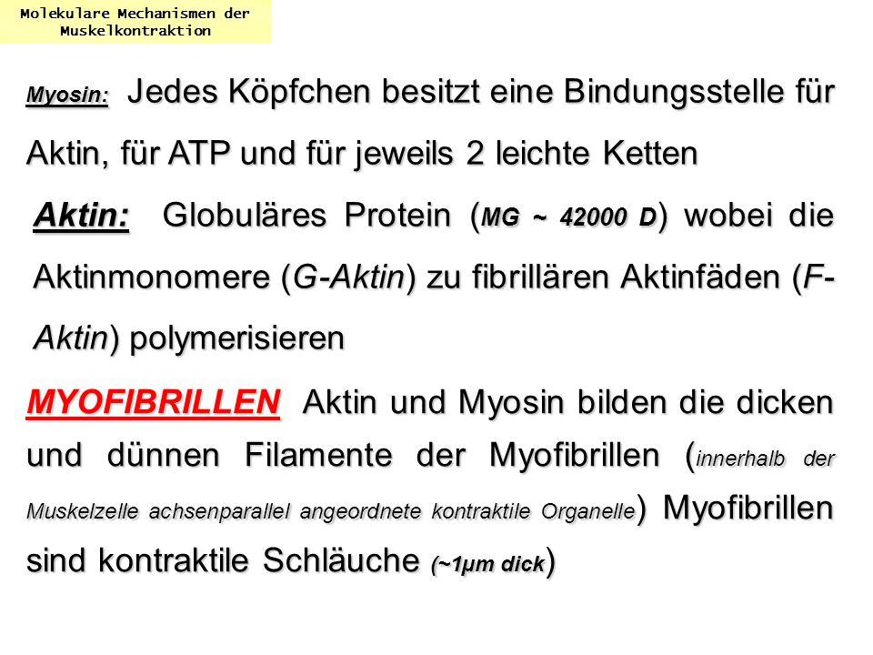 Myosin: Jedes Köpfchen besitzt eine Bindungsstelle für Aktin, für ATP und für jeweils 2 leichte Ketten Molekulare Mechanismen der Muskelkontraktion Ak