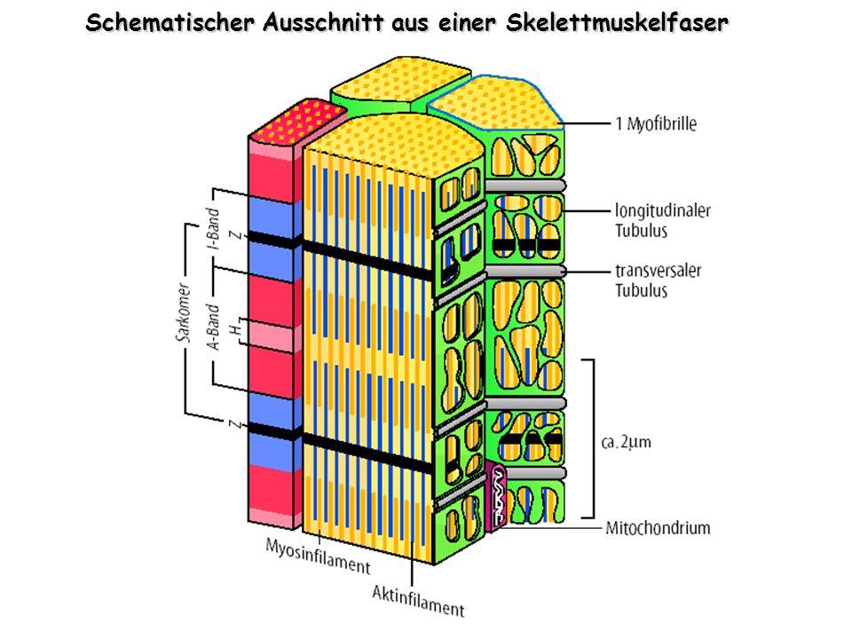 Schematischer Ausschnitt aus einer Skelettmuskelfaser