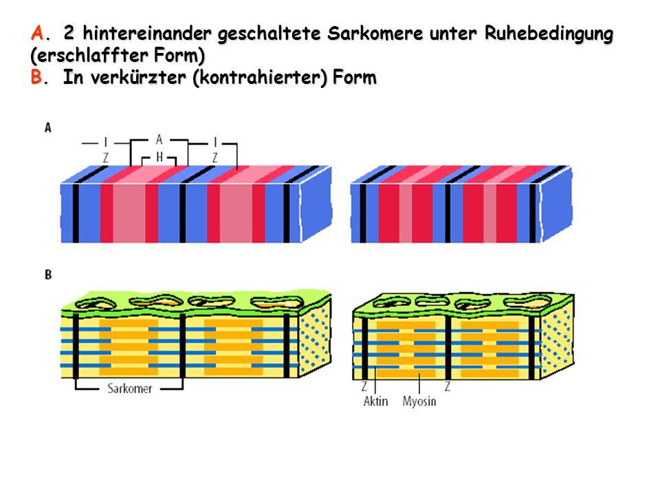 A.2 hintereinander geschaltete Sarkomere unter Ruhebedingung (erschlaffter Form) B.In verkürzter (kontrahierter) Form