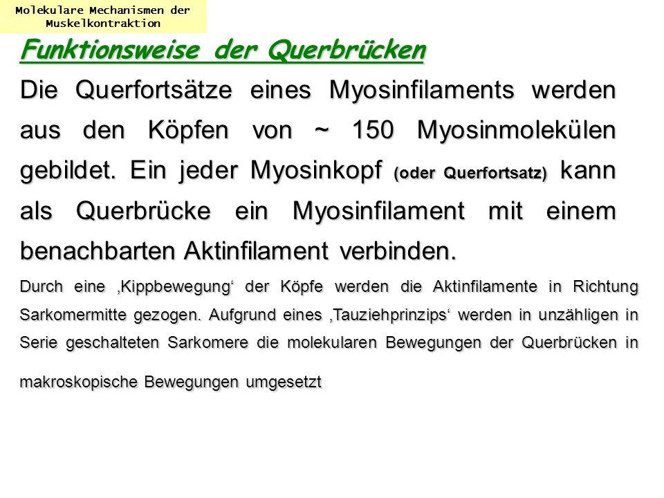 Molekulare Mechanismen der Muskelkontraktion Funktionsweise der Querbrücken Die Querfortsätze eines Myosinfilaments werden aus den Köpfen von ~ 150 My