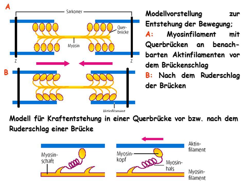 Modellvorstellung zur Entstehung der Bewegung; A: Myosinfilament mit Querbrücken an benach- barten Aktinfilamenten vor dem Brückenschlag B: Nach dem R