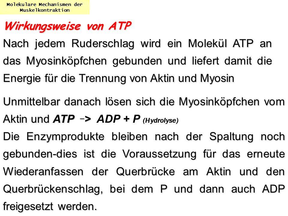 Molekulare Mechanismen der Muskelkontraktion Wirkungsweise von ATP Nach jedem Ruderschlag wird ein Molekül ATP an das Myosinköpfchen gebunden und lief