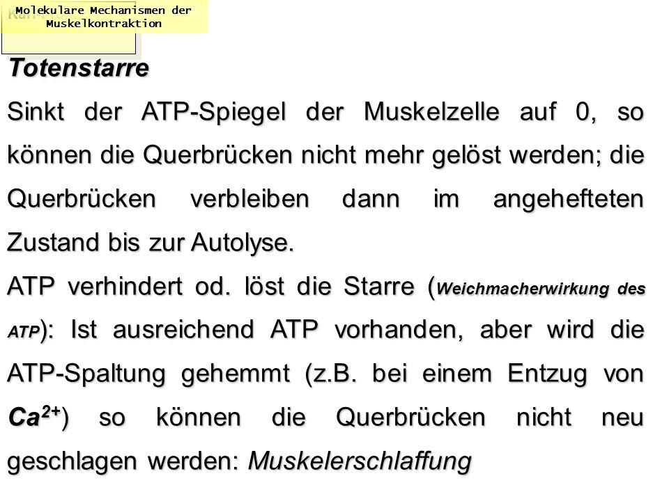 Karl-Franzens: Molekulare Mechanismen der MuskelkontraktionTotenstarre Sinkt der ATP-Spiegel der Muskelzelle auf 0, so können die Querbrücken nicht me
