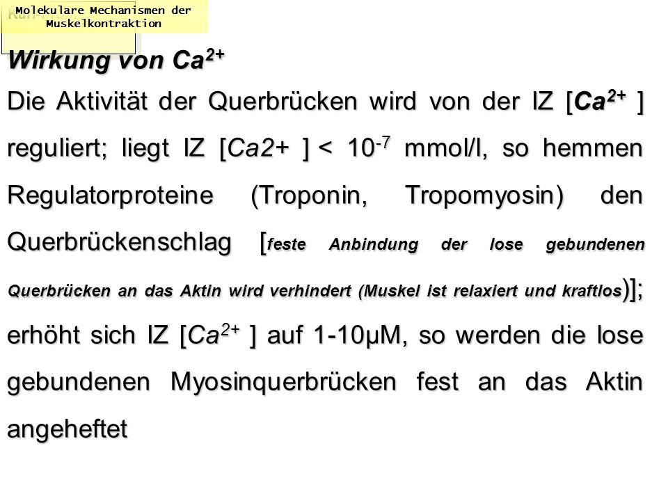 Karl-Franzens: Molekulare Mechanismen der Muskelkontraktion Wirkung von Ca 2+ Die Aktivität der Querbrücken wird von der IZ [Ca 2+ ] reguliert; liegt
