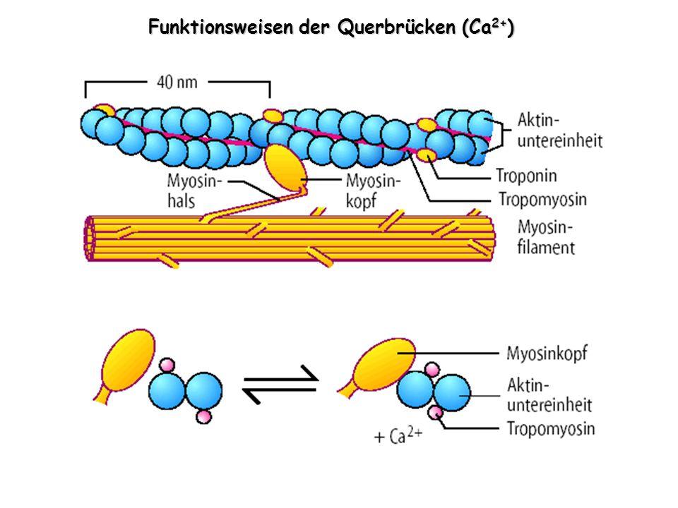 Funktionsweisen der Querbrücken (Ca 2+ )