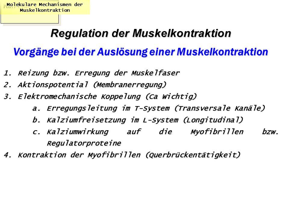 Karl-Franzens: Molekulare Mechanismen der Muskelkontraktion Regulation der Muskelkontraktion Vorgänge bei der Auslösung einer Muskelkontraktion 1.Reiz