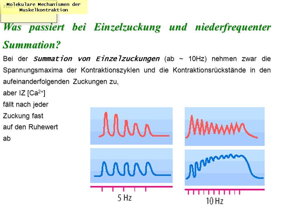 Karl-Franzens: Molekulare Mechanismen der Muskelkontraktion Was passiert bei Einzelzuckung und niederfrequenter Summation? Bei der Summation von Einze