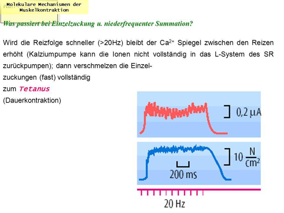 Karl-Franzens: Molekulare Mechanismen der Muskelkontraktion Was passiert bei Einzelzuckung u. niederfrequenter Summation? Wird die Reizfolge schneller