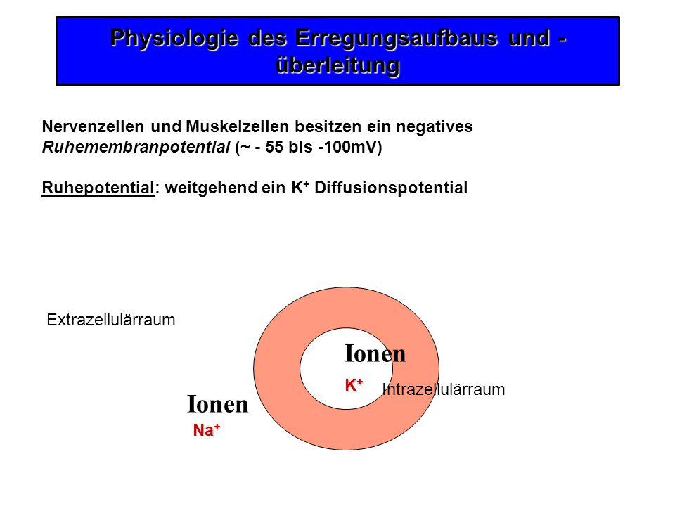 Physiologie des Erregungsaufbaus und - überleitung Nervenzellen und Muskelzellen besitzen ein negatives Ruhemembranpotential (~ - 55 bis -100mV) Ruhep