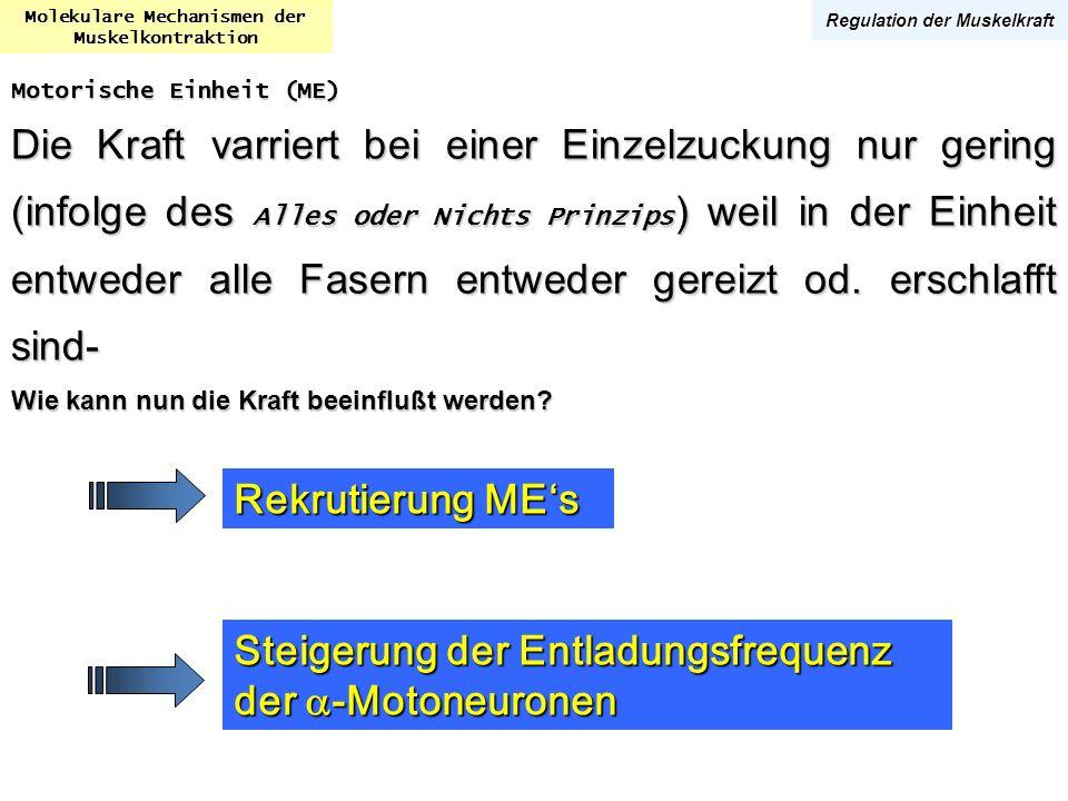 Molekulare Mechanismen der Muskelkontraktion Regulation der Muskelkraft Motorische Einheit (ME) Die Kraft varriert bei einer Einzelzuckung nur gering
