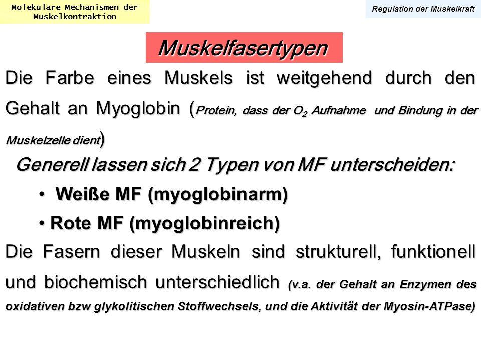 Molekulare Mechanismen der Muskelkontraktion Regulation der Muskelkraft Die Farbe eines Muskels ist weitgehend durch den Gehalt an Myoglobin ( Protein