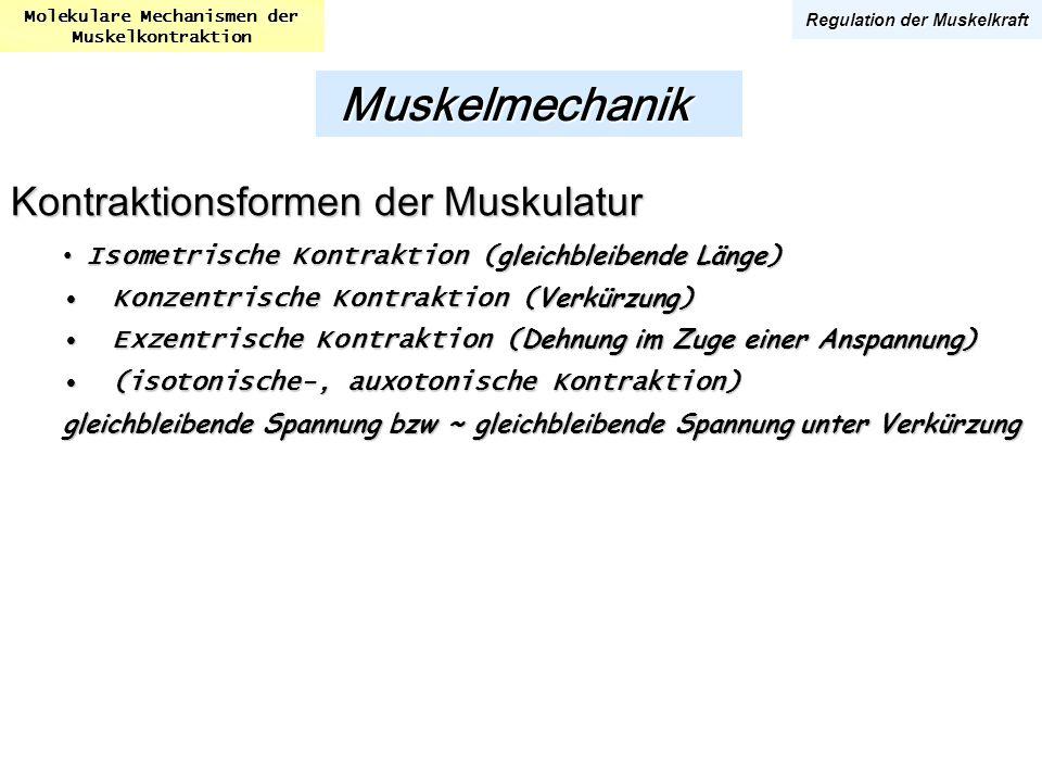 Molekulare Mechanismen der Muskelkontraktion Regulation der Muskelkraft Kontraktionsformen der Muskulatur Isometrische Kontraktion ( gleichbleibende L