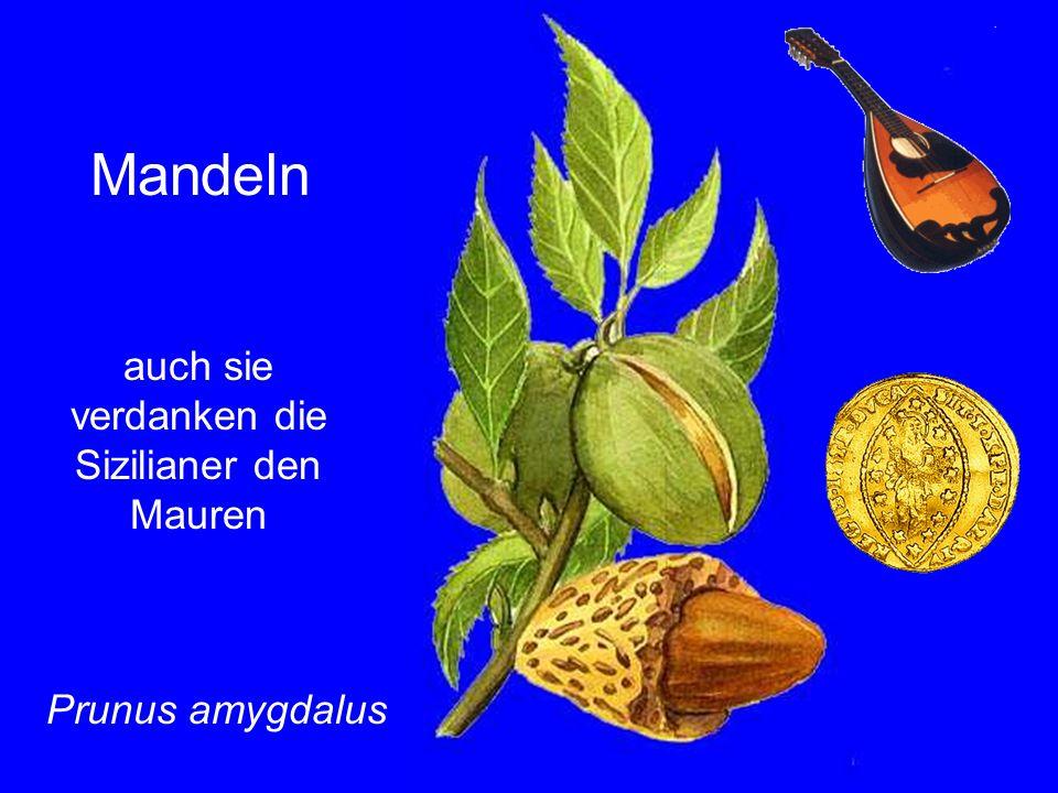 auch sie verdanken die Sizilianer den Mauren Mandeln Prunus amygdalus