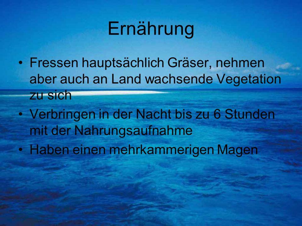 Ernährung Fressen hauptsächlich Gräser, nehmen aber auch an Land wachsende Vegetation zu sich Verbringen in der Nacht bis zu 6 Stunden mit der Nahrung