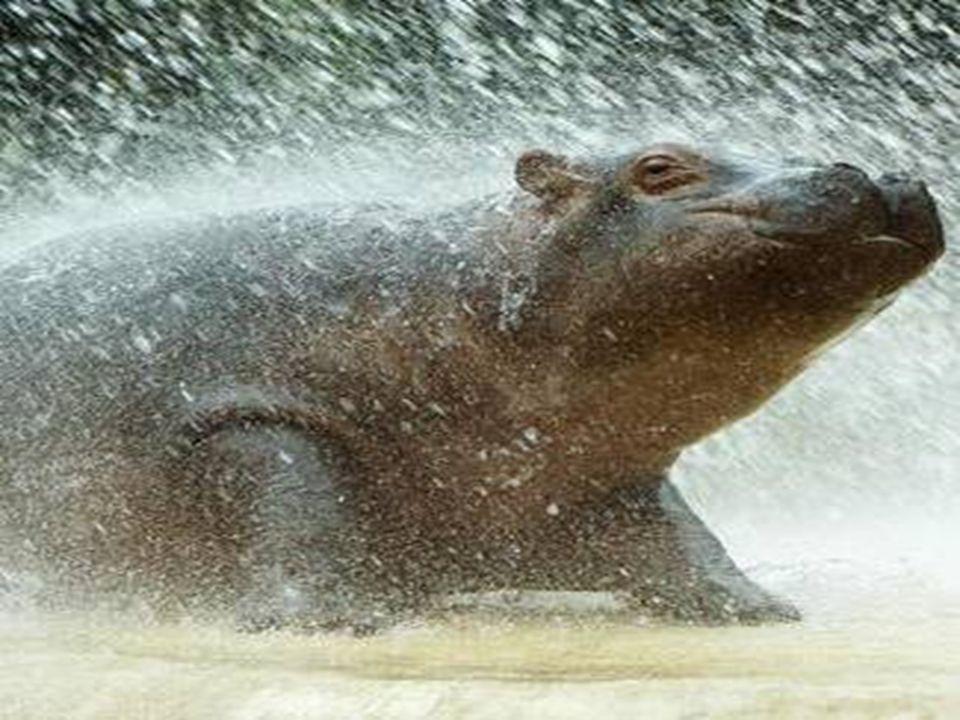 Allgemein Auch Nilpferd genannt Pflanzenfresser Lebt in Wassernähe 2.