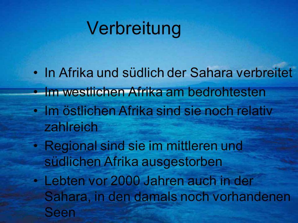 Verbreitung In Afrika und südlich der Sahara verbreitet Im westlichen Afrika am bedrohtesten Im östlichen Afrika sind sie noch relativ zahlreich Regio
