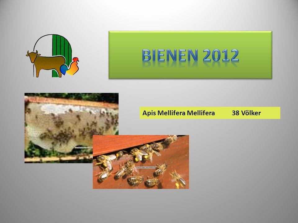 Apis Mellifera Mellifera38 Völker