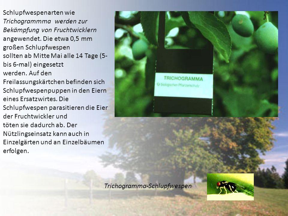 Schlupfwespenarten wie Trichogrammma werden zur Bekämpfung von Fruchtwicklern angewendet. Die etwa 0,5 mm großen Schlupfwespen sollten ab Mitte Mai al