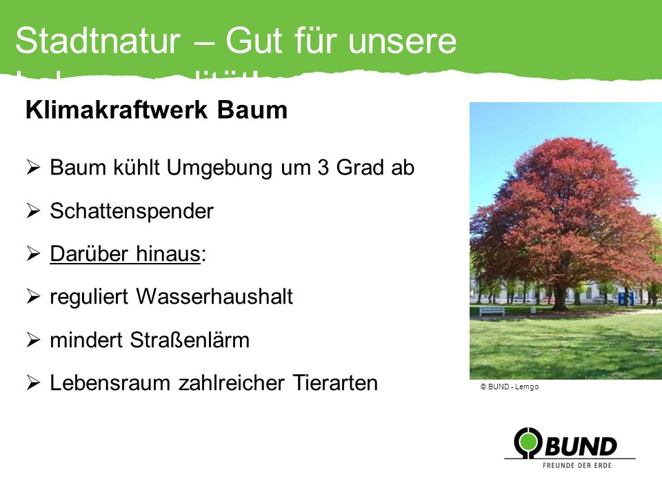 Stadtnatur – Gut für unsere Lebensqualität! Baum kühlt Umgebung um 3 Grad ab Schattenspender Darüber hinaus: reguliert Wasserhaushalt mindert Straßenl