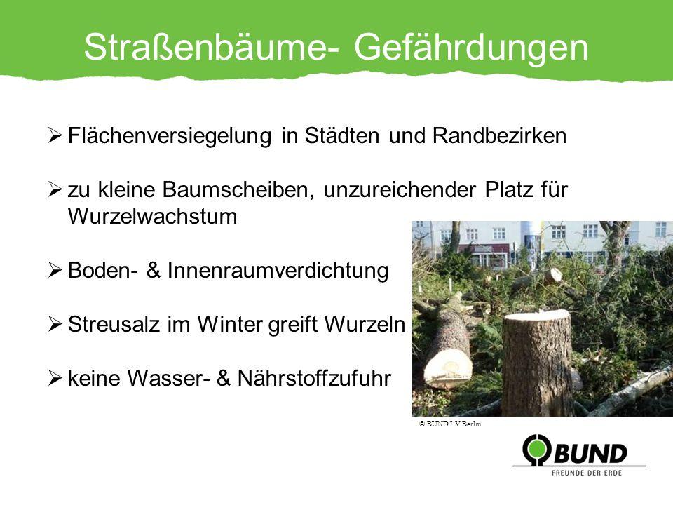 Straßenbäume- Gefährdungen Flächenversiegelung in Städten und Randbezirken zu kleine Baumscheiben, unzureichender Platz für Wurzelwachstum Boden- & In