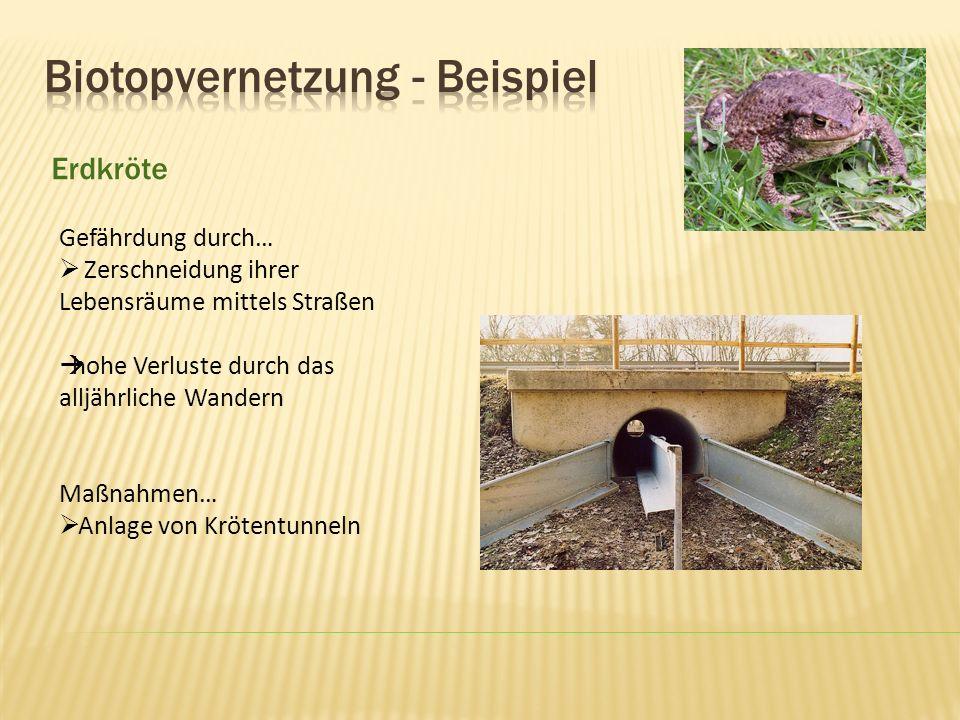 Erdkröte Gefährdung durch… Zerschneidung ihrer Lebensräume mittels Straßen hohe Verluste durch das alljährliche Wandern Maßnahmen… Anlage von Krötentu
