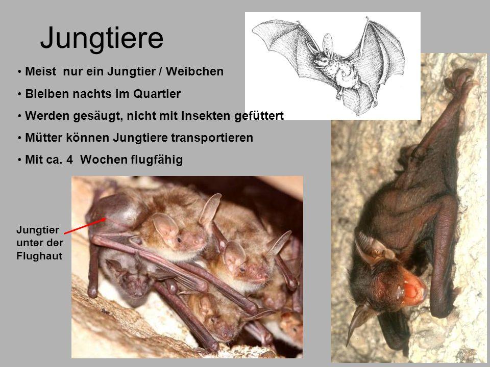 Jungtiere Meist nur ein Jungtier / Weibchen Bleiben nachts im Quartier Werden gesäugt, nicht mit Insekten gefüttert Mütter können Jungtiere transporti