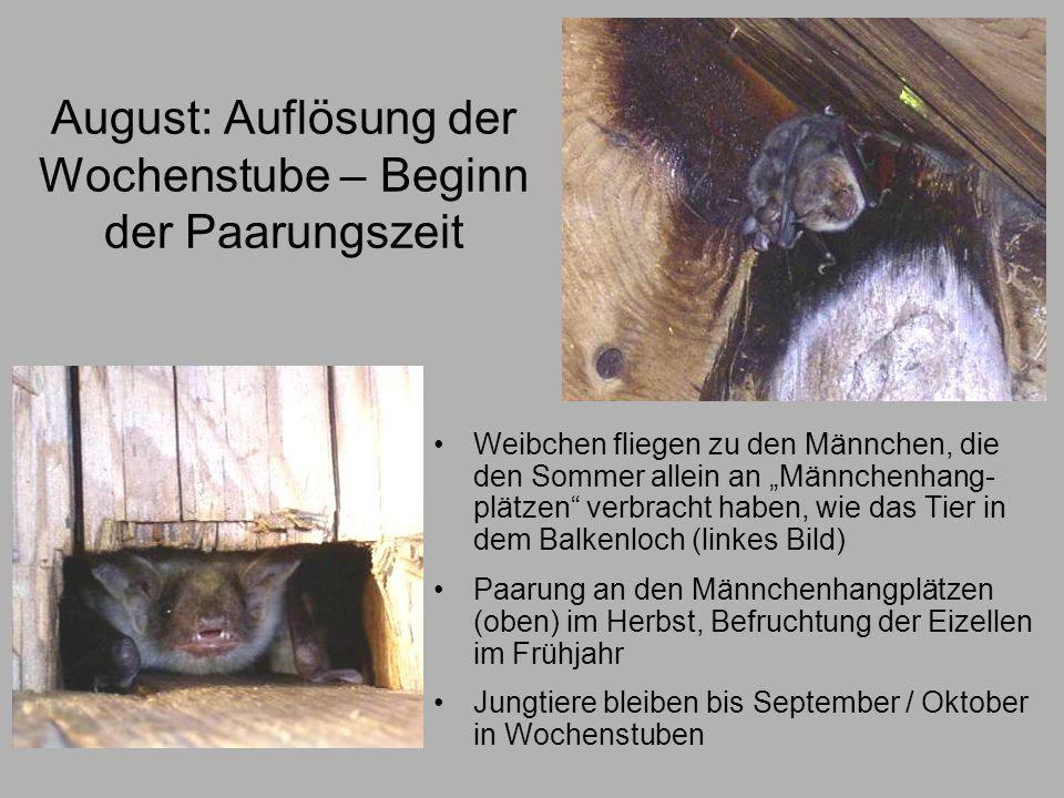 August: Auflösung der Wochenstube – Beginn der Paarungszeit Weibchen fliegen zu den Männchen, die den Sommer allein an Männchenhang- plätzen verbracht