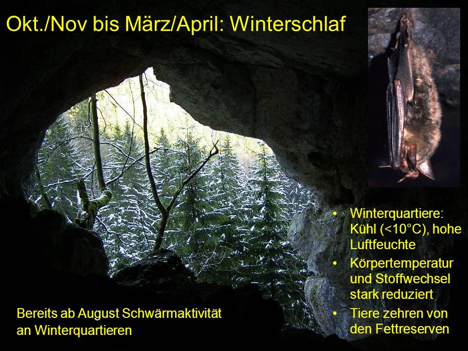 Okt./Nov bis März/April: Winterschlaf Winterquartiere: Kühl (<10°C), hohe Luftfeuchte Körpertemperatur und Stoffwechsel stark reduziert Tiere zehren v