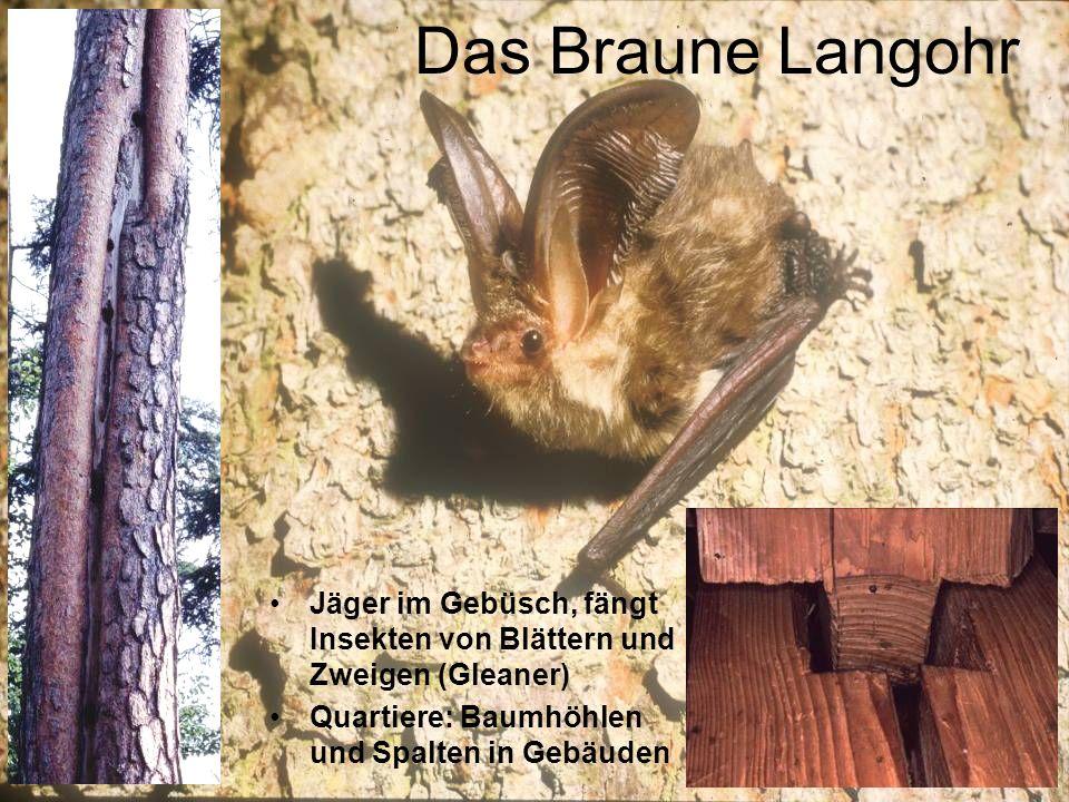 Das Braune Langohr Jäger im Gebüsch, fängt Insekten von Blättern und Zweigen (Gleaner) Quartiere: Baumhöhlen und Spalten in Gebäuden