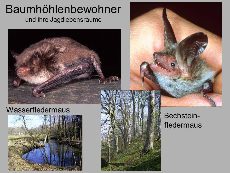 Baumhöhlenbewohner und ihre Jagdlebensräume Wasserfledermaus Bechstein- fledermaus