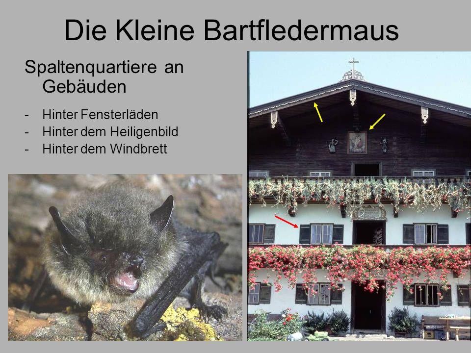 Die Kleine Bartfledermaus Spaltenquartiere an Gebäuden -Hinter Fensterläden -Hinter dem Heiligenbild -Hinter dem Windbrett