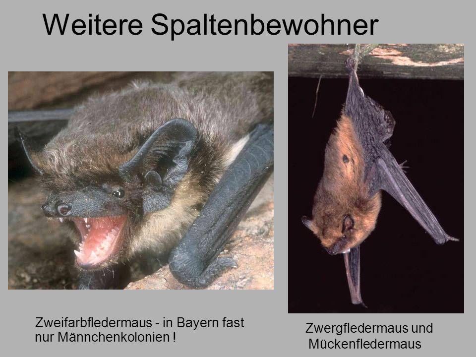Weitere Spaltenbewohner Zweifarbfledermaus - in Bayern fast nur Männchenkolonien ! Zwergfledermaus und Mückenfledermaus