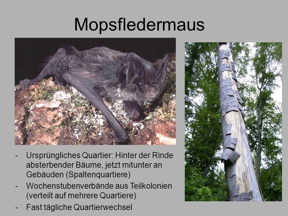 Mopsfledermaus -Ursprüngliches Quartier: Hinter der Rinde absterbender Bäume, jetzt mitunter an Gebäuden (Spaltenquartiere) -Wochenstubenverbände aus