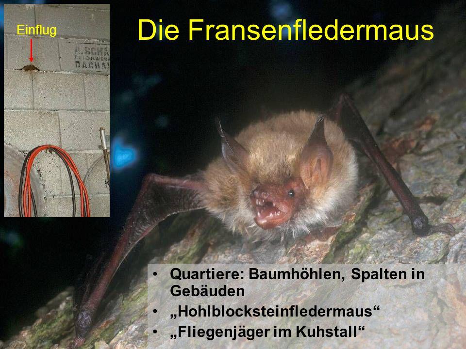 Die Fransenfledermaus Quartiere: Baumhöhlen, Spalten in Gebäuden Hohlblocksteinfledermaus Fliegenjäger im Kuhstall Einflug