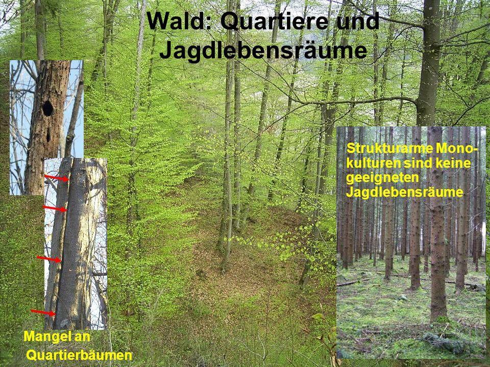 Wald: Quartiere und Jagdlebensräume Strukturarme Mono- kulturen sind keine geeigneten Jagdlebensräume Mangel an Quartierbäumen