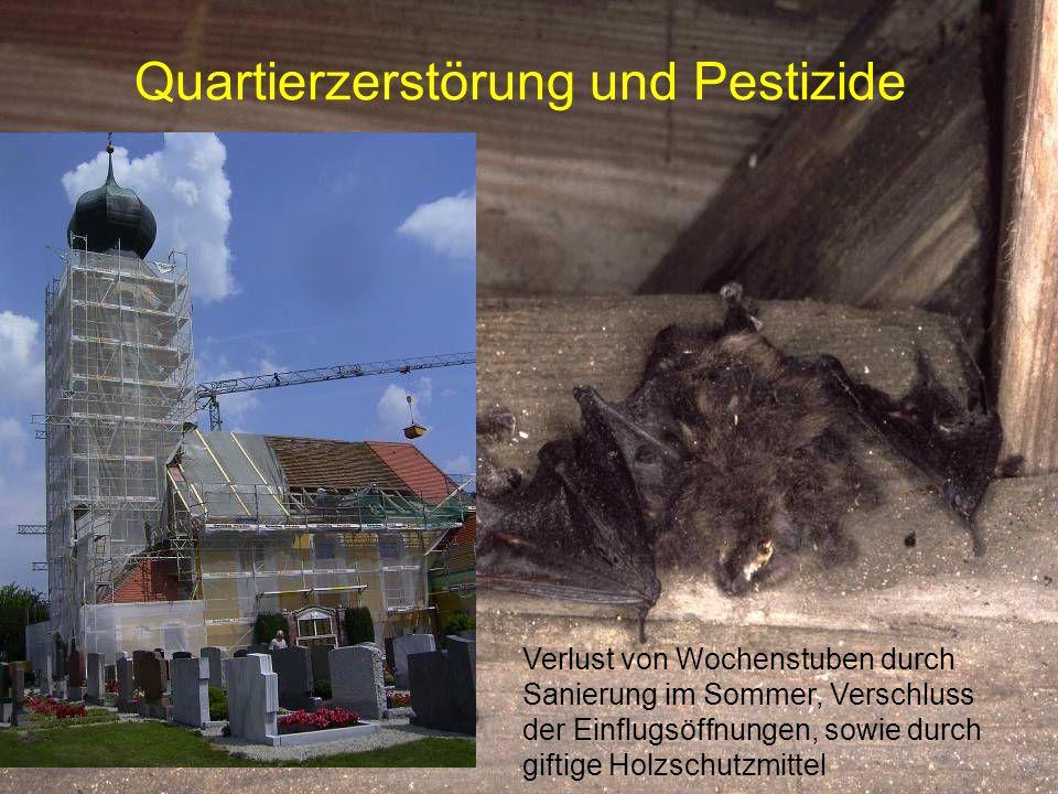 Quartierzerstörung und Pestizide Verlust von Wochenstuben durch Sanierung im Sommer, Verschluss der Einflugsöffnungen, sowie durch giftige Holzschutzm